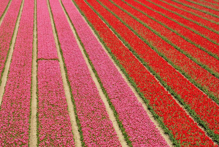 Holland (Flevopolder) Tulpenveld Colours StillLifePhotography Eye4photography  No People Red Holland Dutch Landscape Flevoland Tulips Tulips🌷 Flowers Floriculture
