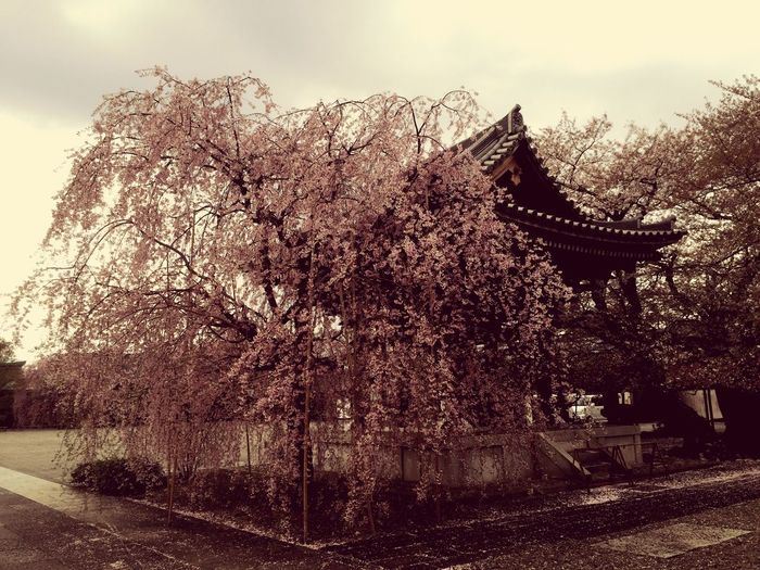 2016cherryburassamu🌸🌸🌸 Japan Walking Alone...