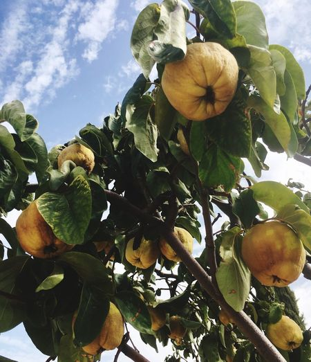 Leaf Growth Fruit Nature Flower Freshness Low Angle View Beauty In Nature Day Outdoors No People Tree Sky Plant Food And Drink Food Close-up Pumpkin Flower Head