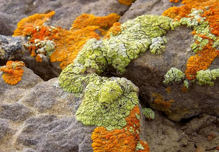 Desert Life Lichen Rock Lichen Pattern Nature Is Art Growth Nature Close-up Close Up Photography Desert Flora Natural Photography Natural Formation Textures And Surfaces Textures And Colors Natural Texture Natural Pattern Natural Colors Natural Light Photography Natural Colours Lichen Beauty Colors Of Nature Wyoming Landscape Lichen Growth Lichen Lichen On Stone Lichen And Moss Desert Landscape Nature Textures