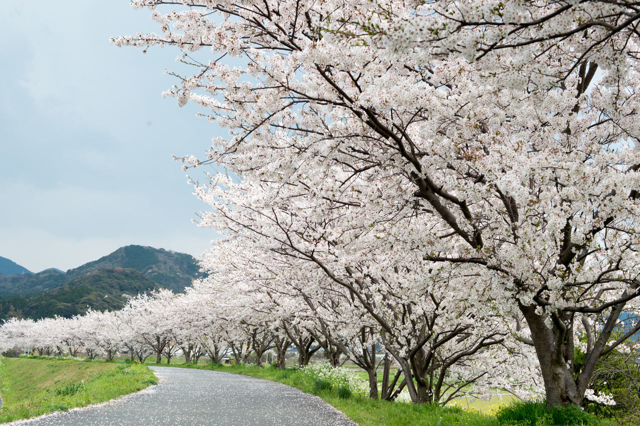 Cherry Blossoms Growing On Trees By Road Against Sky