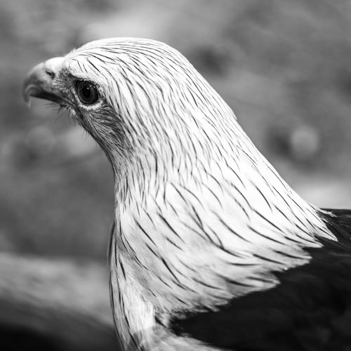 Bird Animal Animal Themes Vertebrate One Animal Close-up Animal Wildlife No People Focus On Foreground Animals In The Wild Nature Day Animal Body Part Side View Beak Animal Head  Outdoors Bird Of Prey Looking Livestock Profile View Animal Eye Eagle