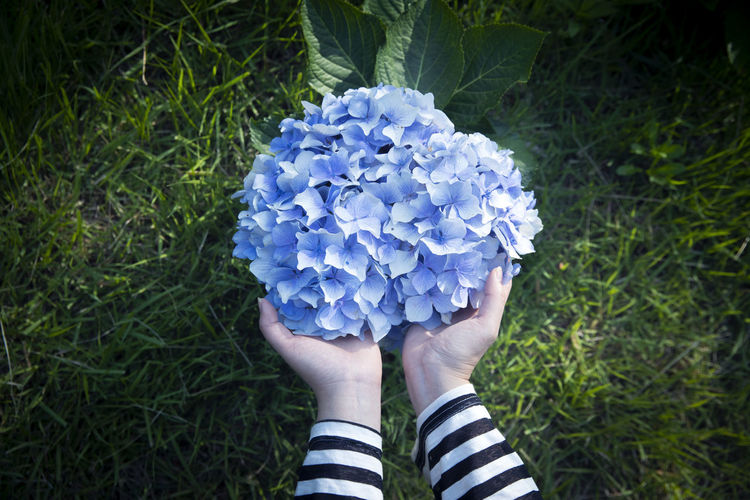 Cropped hands holding purple hydrangeas blooming in park