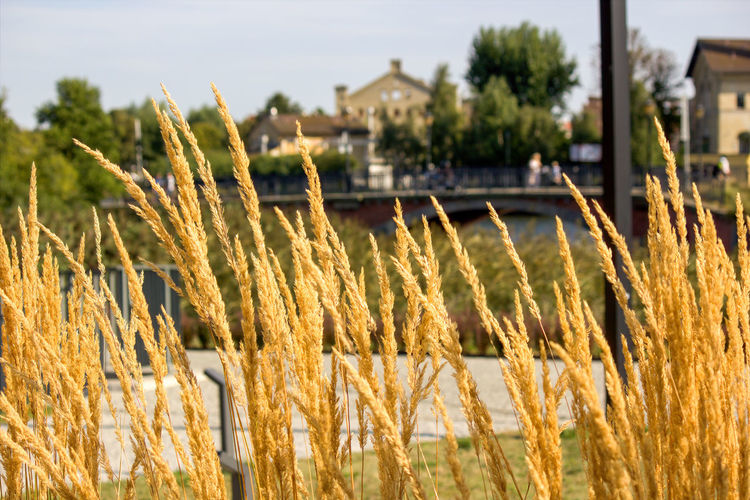 Close-up of stalks in field against buildings