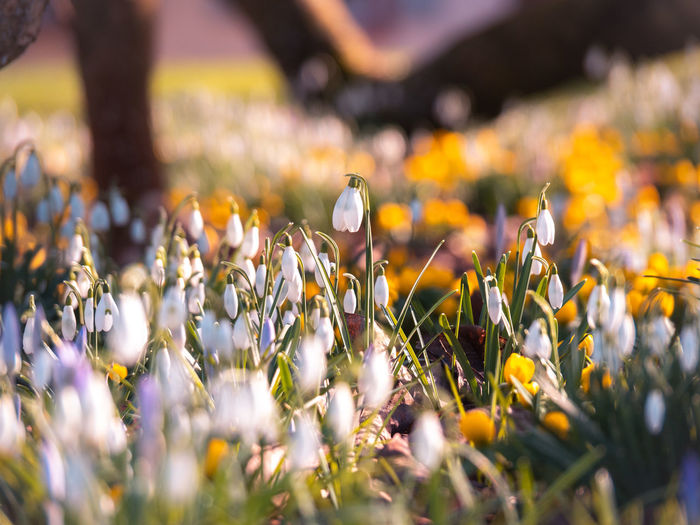 Flower Flowering Plant Plant Growth Beauty In Nature Freshness Vulnerability  Fragility Selective Focus Land Field Close-up Petal Nature No People Yellow Day Sunlight Flower Head Tranquility Crocus