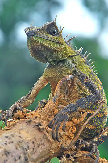 50+ Bearded Dragon Pictures HD | Download Authentic Images