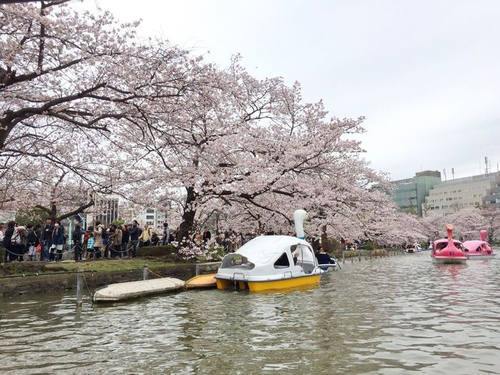 Boats⛵️ Boats Sakura Sakura2016 Sakura Trees Sakura Blossom Sakura☆cherry Blossam Swans Swan Swans On The Lake Swans ❤ Swan Boats Pond Lake View Lake Lakeshore Crowded Crowded Street Crowded People
