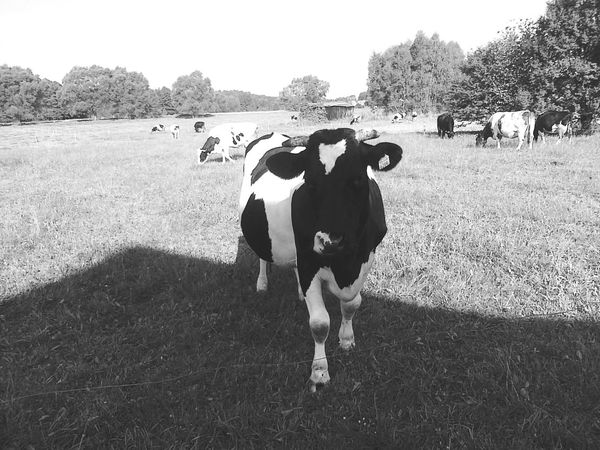 Outdoors Village Grass Animal Black And White Cows