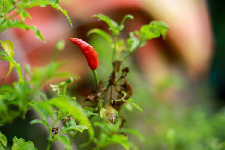 Chili Pepper Chili Peppers Chili Pepper Plant Red Hot Chili Peppers Red Hot Chili Growth Plant Food Food And Drink Selective Focus Freshness Close-up Fruit Leaf Plant Part Red Healthy Eating Nature Day Green Color Beauty In Nature No People Outdoors Agriculture Vegetable Ripe