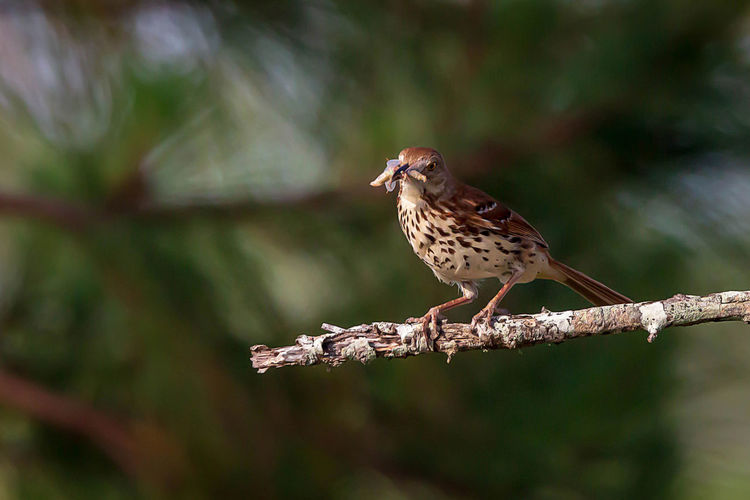 Animal Wildlife One Animal Animal Themes Animal Bird Animals In The Wild Vertebrate Perching No People Focus On Foreground Tree Day Nature Full Length Outdoors Close-up Plant Branch Songbird  Selective Focus Falcon - Bird
