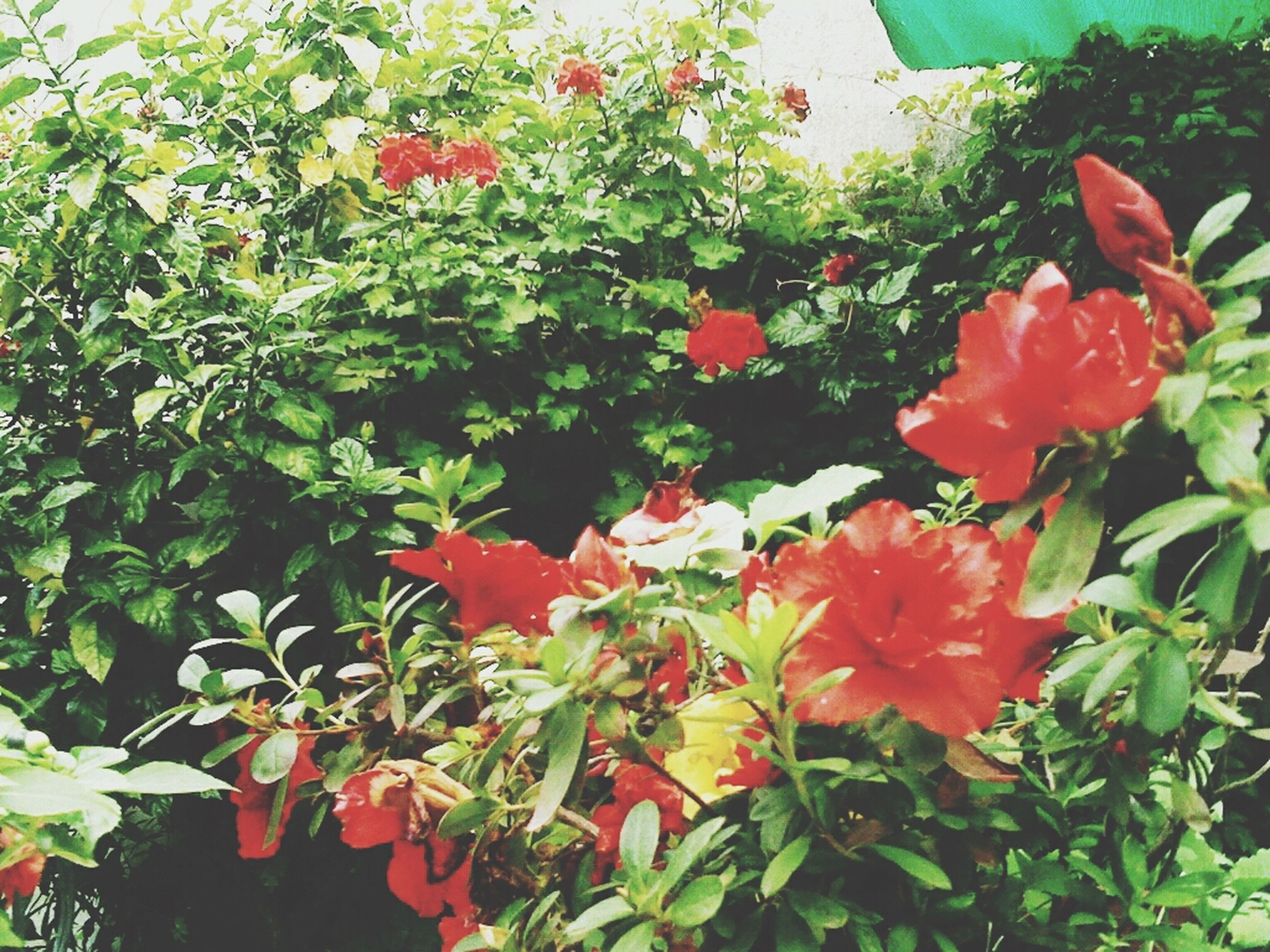 flower, growth, freshness, petal, leaf, plant, fragility, red, beauty in nature, flower head, blooming, nature, green color, in bloom, close-up, day, high angle view, outdoors, no people, growing