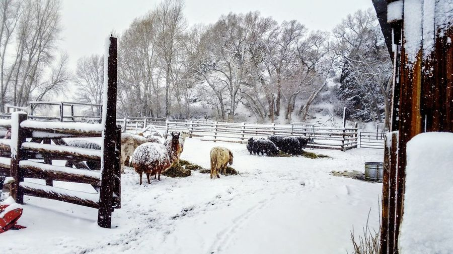 Winter flurries Farm Life , Lamas, Yaks, Pony, Alpakas, Winter Feeding, Tree Snow Snowing Cold Temperature Winter Dog Rural Scene Weather Sky Landscape