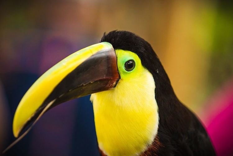 Toucan bird Bird Beak Yellow Animal Themes One Animal Animal Wildlife No People Outdoors Nature Costa Rica Mountain Forest Close-up Beauty In Nature EyeEm Nature Lover EyeEm Best Shots Animals In The Wild