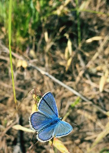 Butterfly Polyommatus Bellargus Lysandra Bellargus Голубянка