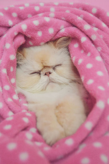 Lord Aries Cat Cat Cats Close-up Comfortable Cute Domestic Animals Domestic Cat Fluffy Himalaya Himalayan Kitten Kitty One Animal Persa Persan Persia Pet Pets Relaxing Sleeping Tired