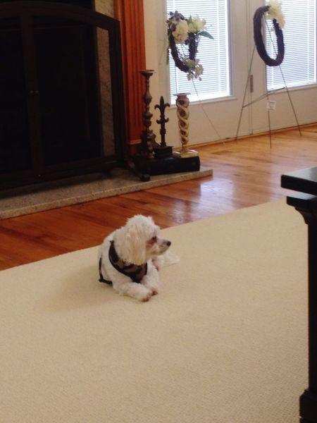 Hanging Out Northcarolina Taking Photos I Love My Dog Riley Dog Love Dog❤ Maltese Maltese Dog
