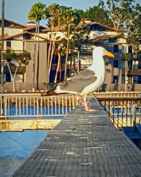 Seagull Talks A Walk Down The Plank Nature Photography Outdoor Photography Bird Photography Animal Photography Seagulls Planks Harbor EyeEm Fresh On Eyeem  Abstract Photography Eyeem Market Eyeemphotography Eye4photography  ForTheLoveOfPhotography IShootFromMyWheelchair Outdoors Abstract My Perspective Perspective Nature