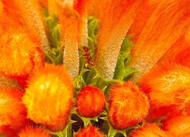 Ant Close-up Extreme Close Up Leonotis Leonurus Orange Color Selective Focus Stamen Vibrant Color