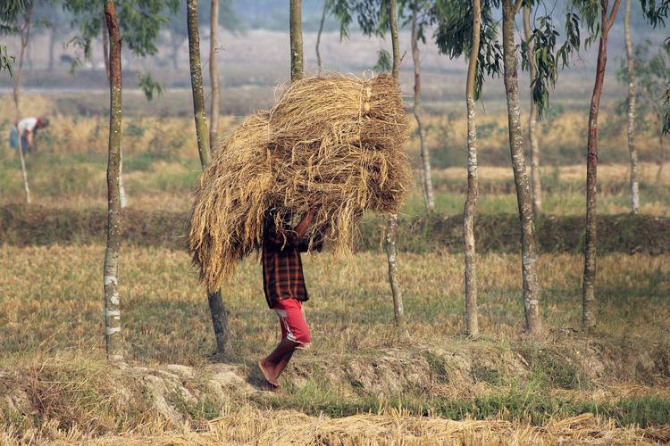 Farmer carrying hay bale on field