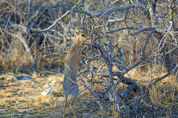 A steenbok on his hind legs reaching for the leaves in the tree Africa Animal Animal Themes Animals Animals In The Wild Day Etosha Feeding  Game Namibia National No People Outdoors Park Safari Selective Focus Steenbok Wildlife Wildlife & Nature Anilmal Safari Animals EyeEm Nature Lover Nature Photography Wildlife Photos Wildlife Photography
