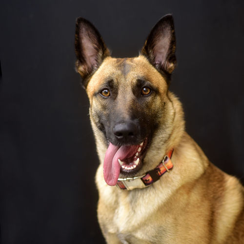 Animal Portrait Animal Themes BelgianMalinois Black Background Close-up Day Dog Doggy Domestic Animals Fur Baby Furbaby Happy Dog K9 K9 Dogs Malinois Mammal No People One Animal Pets Police Police Dog Polizei Puppy Studio Shot Tongue Out
