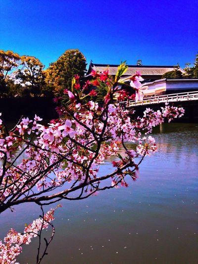 皇居の桜 Flower_Collection Flower Porn EyeEm Flower Flower Collection
