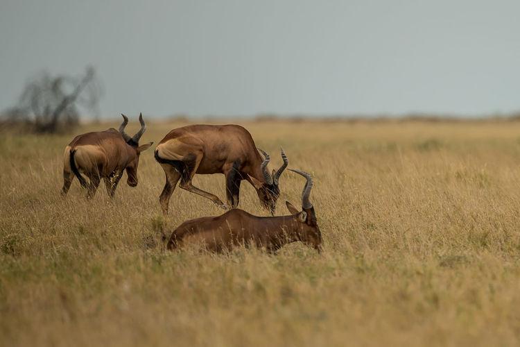 Antelopes standing on grassy land against sky