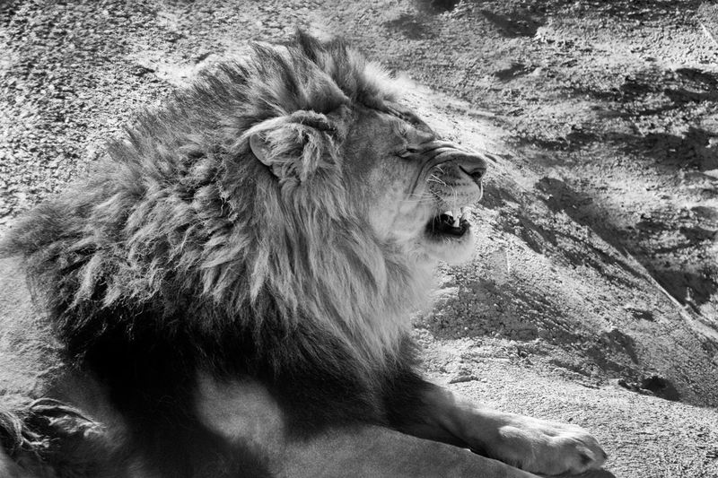 The Lion's King White Noir Et Blanc Black And White Black Noir Blanc Male Animal Animal Head  One Animal Lion