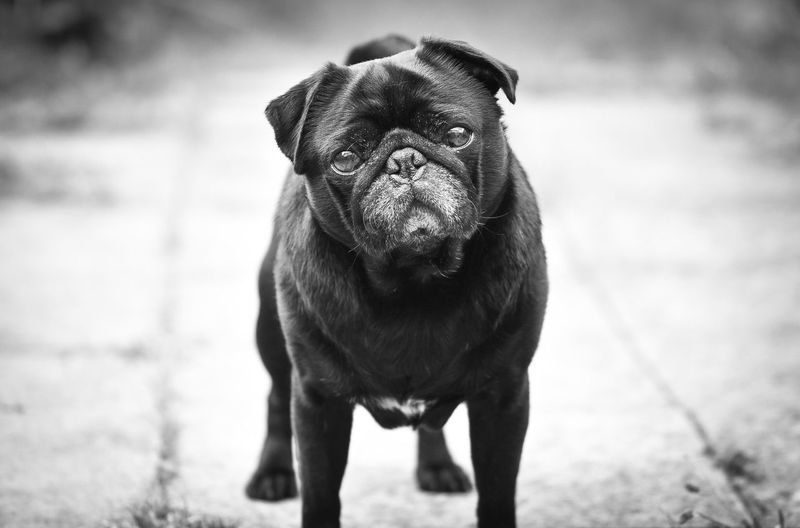View of pug looking at the camera