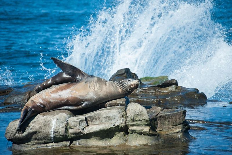 Sea Beach Water Nature Aquatic Mammal Beauty In Nature Sea Lion Animals In The Wild Sea Life Outdoors Sandiego_ca Sandiegophotos Sandiegophotography LaJolla, CA