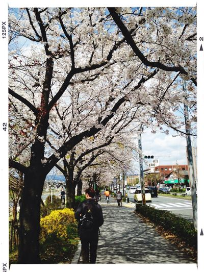 Cherry Blossoms Kyoto Streetphotography