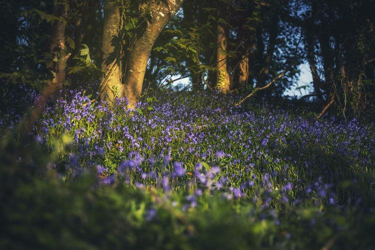 Purple flowering plants and trees on field