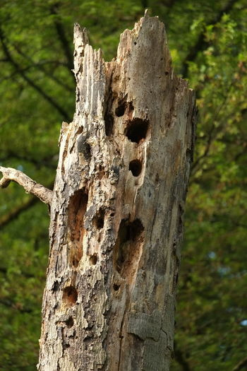 Biotope Woodpecker Holes Biodiversity Coarse Woody Debris Dead Wood Forest Forest Photography Nature Outdoors Snag Tree Tree Trunk