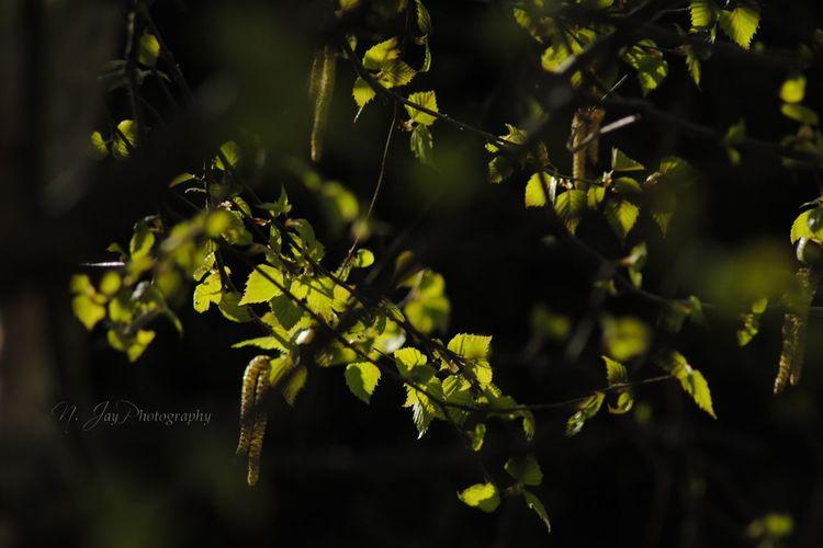 Birch Birch Tree Leaves Green Fresh Freshness Tree Branches Plant Light And Shadow Light In The Darkness Light And Dark Shadow Nature Nature_collection Nikon Eye4photography  EyeEm Nature Lover EyeEm Masterclass Springtime Spring Young Leaves Sunlight And Shadow Sunlight Pollen