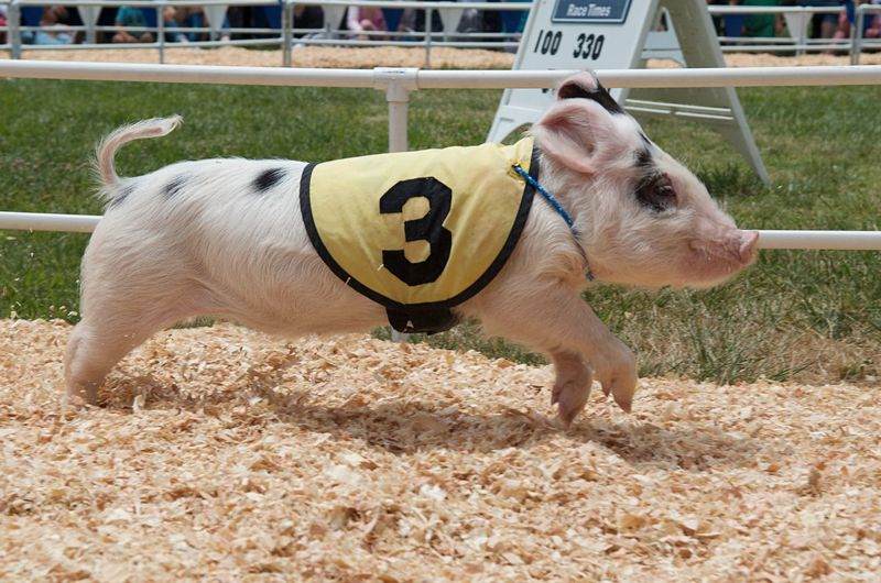 A young pig