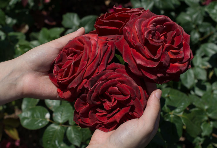 Cropped hands of woman holding red roses on plant