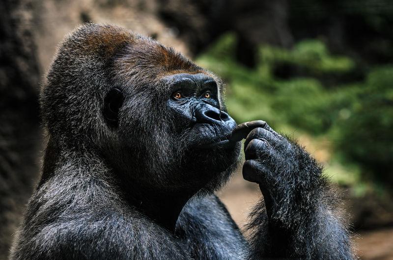Close-up gorilla