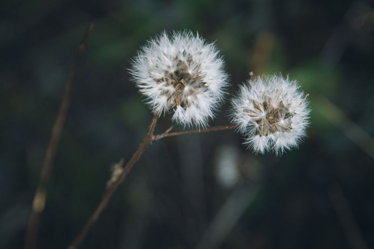 Dandelion, puffs away. Make my wish come true some day. Botany Dandelion Depth Of Field Flower Fragility Nature Softness Taraxacum