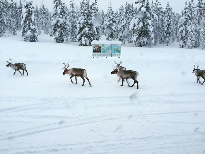 Raindeer crossing Lapland, Finland Saariselkå Reindeer First Eyeem Photo