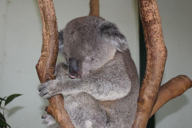 Close-up of koala sleeping on branch