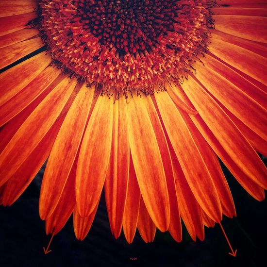 Sunburst. P239 Onephotoaday IPhoneography 365project2016 Single Flower Flower Flowers,Plants & Garden Orange Orange Flower Nature Outdoors Nature_collection Petals Getting Creative Sunburst Beauty In Nature Macro Macro_collection
