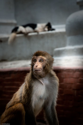 Monkey looking away while sitting outdoors