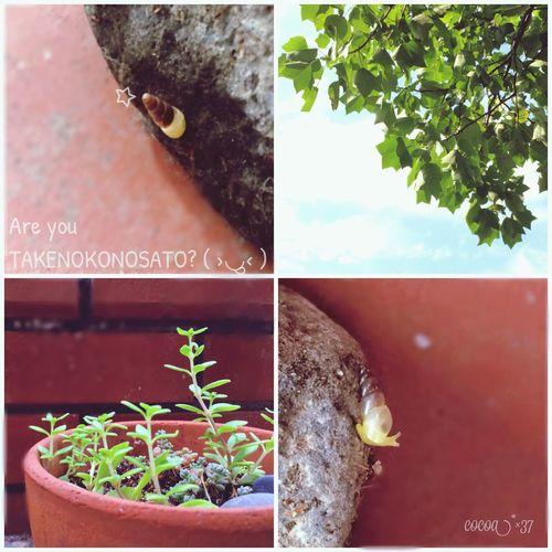 YUKIしゃん、これこれ〜!(*´罒`*)ニヒヒ♡ たけのこの里じゃないよ Snail Plants カタツムリ
