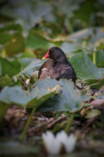Brütende Teich-Ralle 🦆👀 @BaRaZi_76 😉 Outdoor Parklife Teichralle Teichhuhn EyeEm Nature Lover Bokeh Seerose Beautiful Nature Bird Perching Close-up