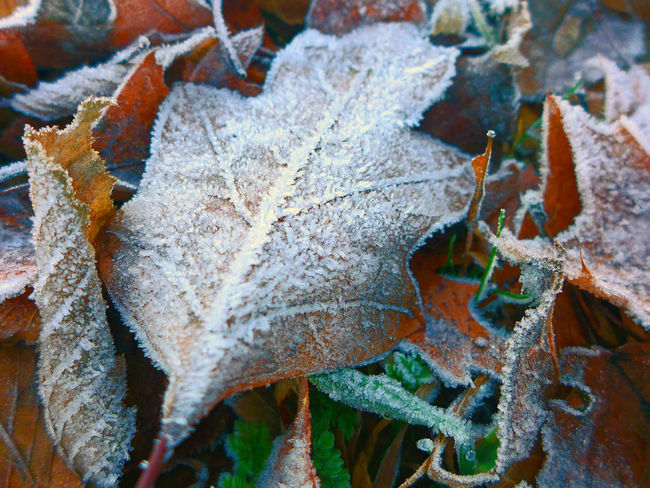 Backgrounds Beauty In Nature Close-up Cold Temperature Fragility Hoarfrost Leaf Vein Leaves Nature Outdoors White Frost Winter Winter Leaves