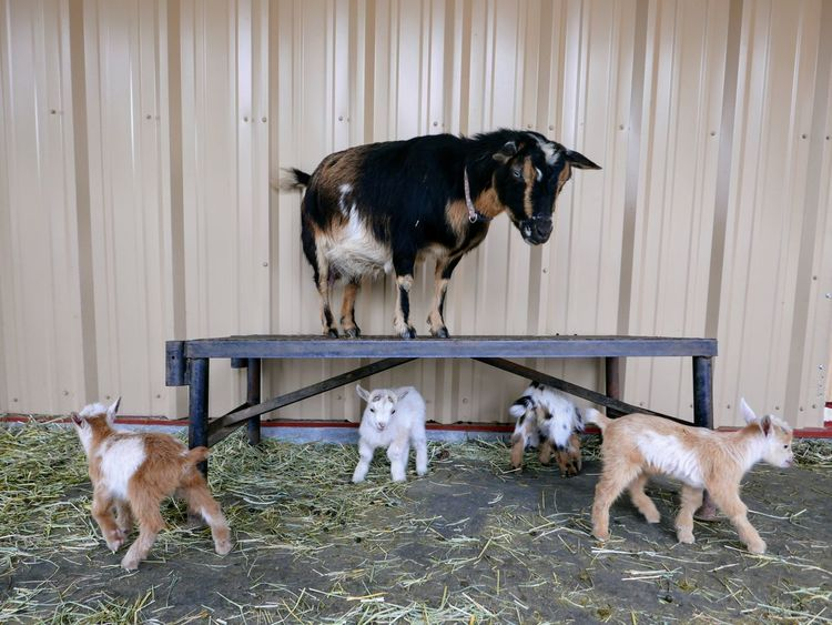 Dog Pets Domestic Animals Animal Animal Themes No People Mammal Outdoors Day Baby Goats Goat Alertness Nature Animal Wildlife Goats Farm Animals One Animal Cute Pet Portraits
