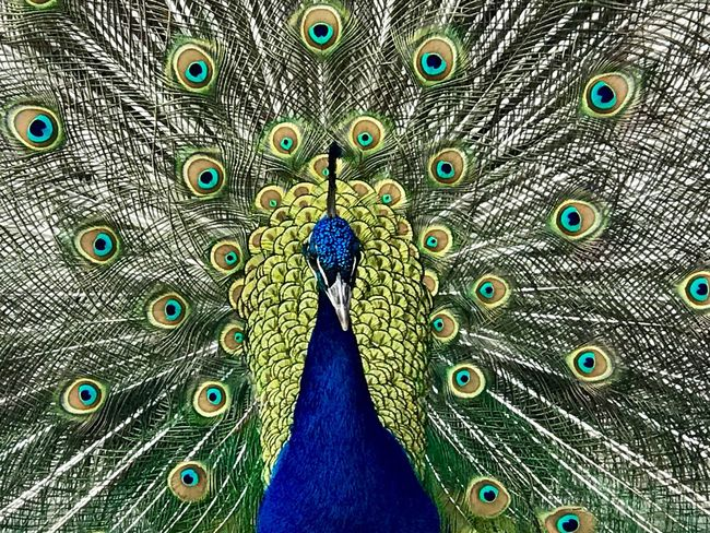 All eyes on me. Peacock Bird One Animal Peacock Feather Animal Themes Animals In The Wild Animal Wildlife Blue Fanned Out Feather  No People Day Outdoors Beauty In Nature Full Frame Nature Backgrounds Close-up