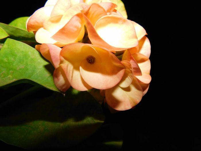LIFE Beauty In Nature Orange Flower Orange Crown Of Christ Flower Head Black Background Flower Close-up Petal Plant Life