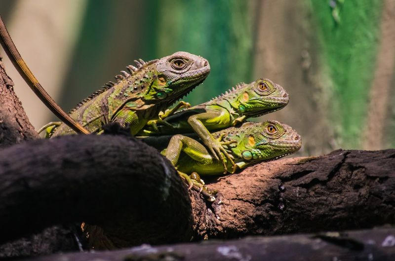 Captured with nikon d3300 Animal Themes Animal Animal Wildlife Animals In The Wild Vertebrate Reptile One Animal Lizard No People Close-up Nature Selective Focus Tree Day Plant Branch Outdoors Animal Body Part Focus On Foreground Iguana Animal Scale Animal Head