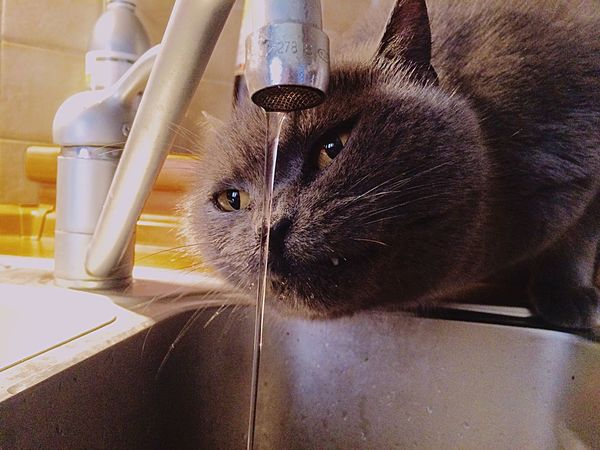 One Animal Domestic Cat Domestic Animals Pets Animal Themes Indoors  Mammal Feline Whisker Close-up No People Siamese Cat Day